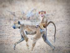 Blijf niet de hele dag zitten, hang af en toe de baviaan uit