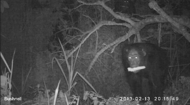 Deze videostill woont hoe een chimpansee ervandoor gaat met in zijn bek een maïskolf die hij van een akker heeft 'gestolen'. De apen trekken er 's nachts op uit omdat de landbouw hun leefgebied heeft verstoord. Beeld PLOS media