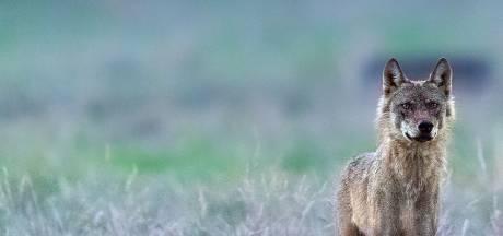 Le loup Billy, repéré en juin en Campine, probablement abattu dans les Vosges