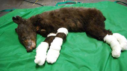 'Cinder' de beer overleefde verwoestende bosbrand en werd icoon, nu blijkt ze doodgeschoten door een jager
