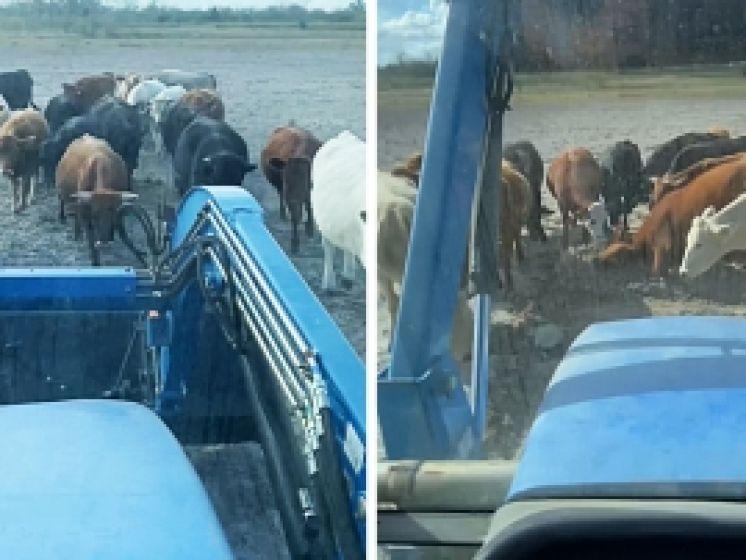 """Boer wil kudde van waterbassin voorzien, maar dat is buiten zijn koeien gerekend: """"Stop! Wat doen jullie toch?"""""""
