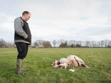 Gemist? PEC Zwolle is woest op de KNVB en boer Joost weet het zeker: dit is het werk van een wolf