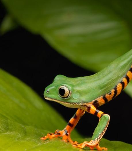 Wetenschappers luiden de noodklok: schimmel roeit kikkers, padden en salamanders uit
