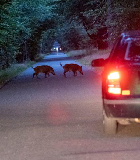 Babyzwijntjes op Veluwe achtervolgen auto voor voedsel: 'Dit is precies waar we bang voor zijn'