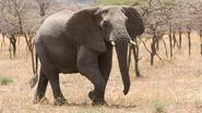 Olifant vertrappelt jager wanneer die aanlegt om te schieten