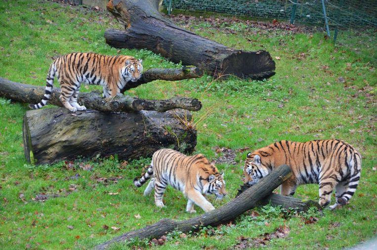 De tijgers hebben ondertussen hun binnen- en buitenverblijf kunnen verkennen.