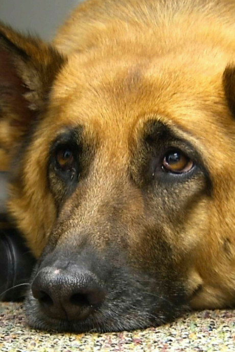 Voici comment les chiens réussissent à nous attendrir avec leur regard