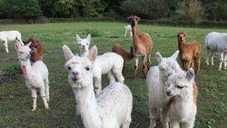 Vijf schattige alpaca's te koop (en dit betaal je ervoor)