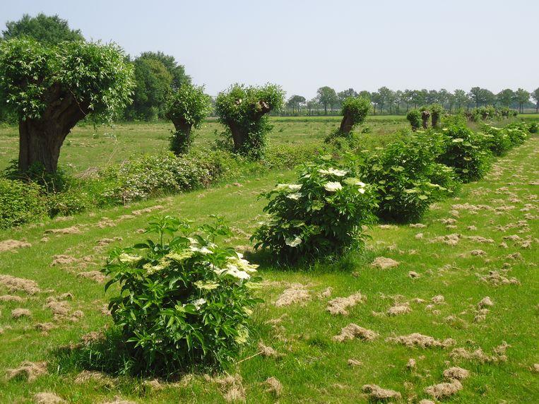 De boomgaard met vlierstruiken. Beeld Jan Segerink