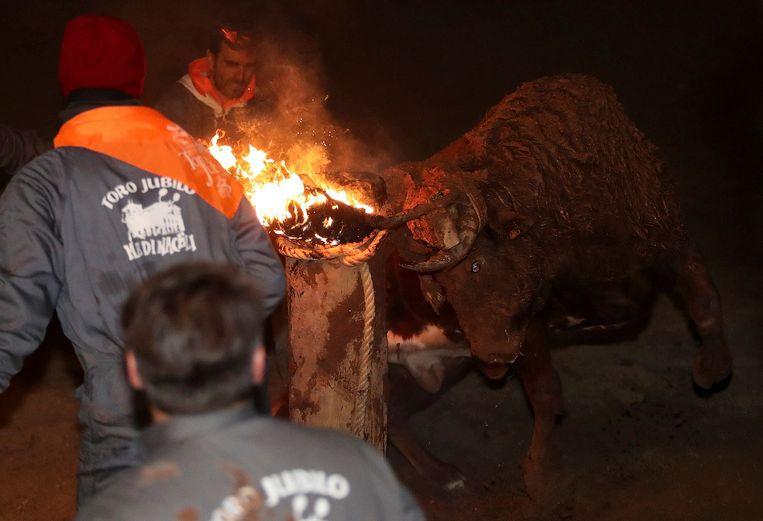 De stier kan in eerste instantie niet weg en panikeert terwijl hij de paal is vastgebonden.
