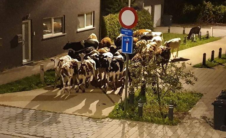 Een troep van 25 koeien in de Koningsdonkstraat afgelopen nacht