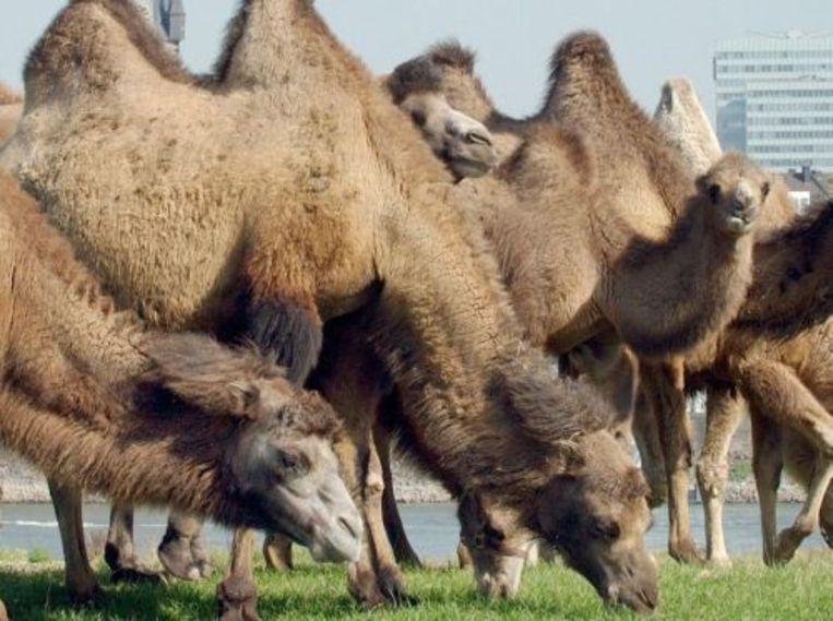 Kamelen van circus Renz (archieffoto). ANP Beeld