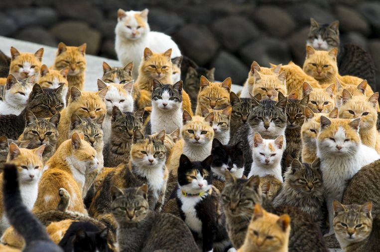 Beeld ter illustratie, Japans 'katteneiland' Umashima.