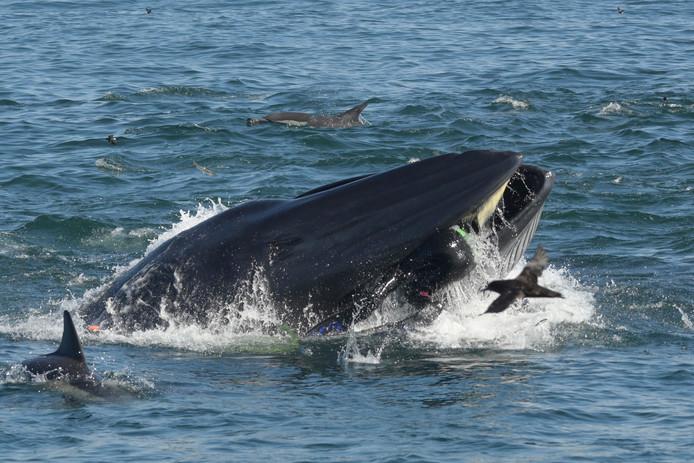 Rainer Schimpf bungelde enkele seconden in de bek van een walvis. Je ziet zijn billen en flippers.