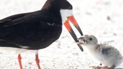 Vogel voedert peuk aan jong in hartbrekende foto