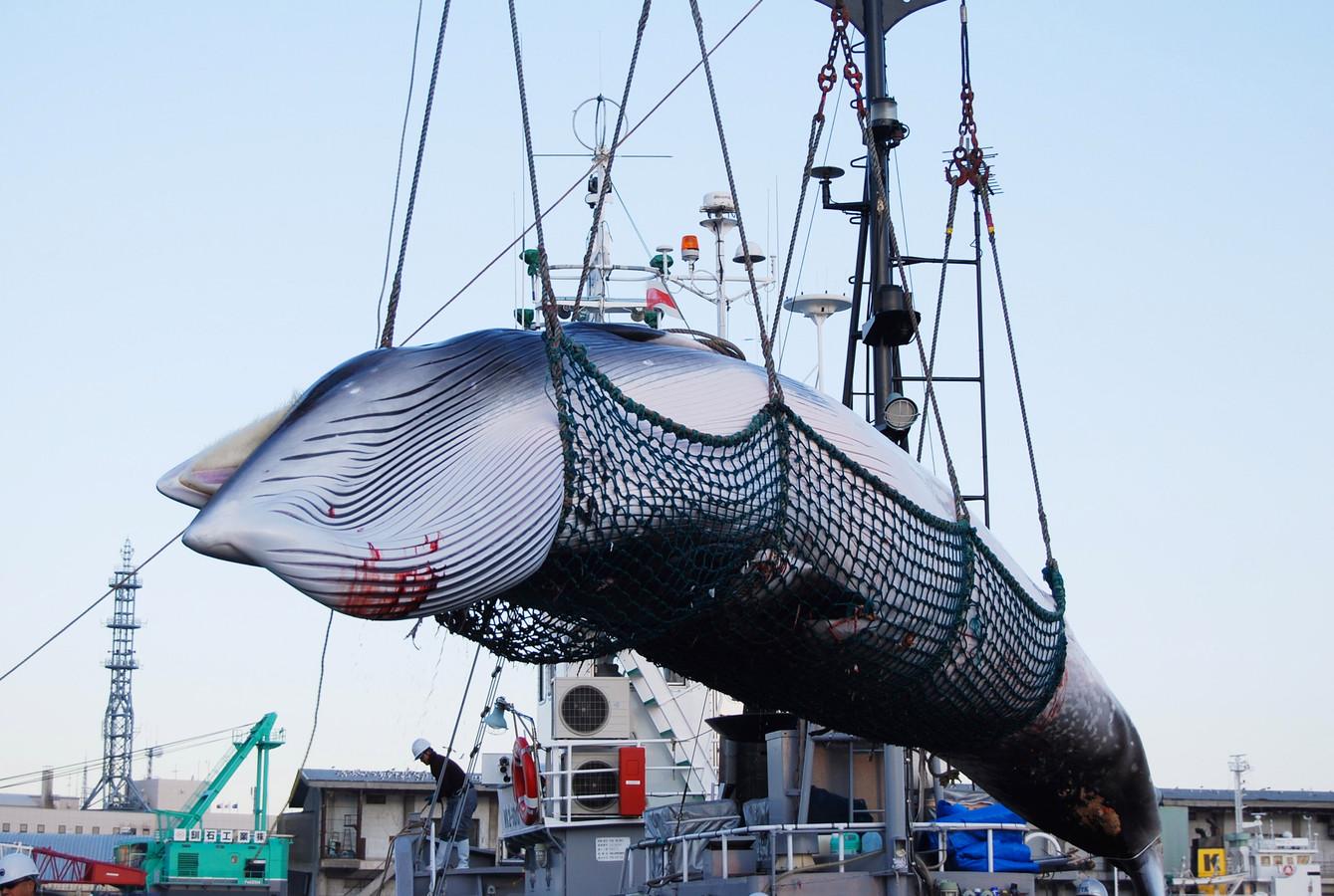 Het binnenhalen van een dwergvinvis in de haven van Kushiro in het noorden van Japan, in september 2017.