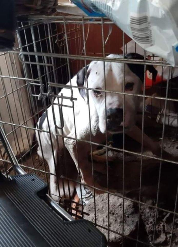 De honden zaten in Oldebroek in erbarmelijke omstandigheden, volgens stichting Big Boy.