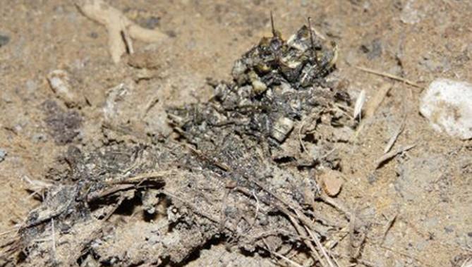 De uitwerpselen die zijn gevonden onder een brug bij Wageningen