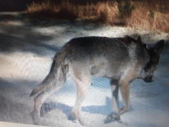 Een foto van mannetjeswolf August vrijgegeven in augustus 2018.