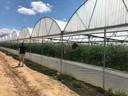 Tomatenteelt in Albanië