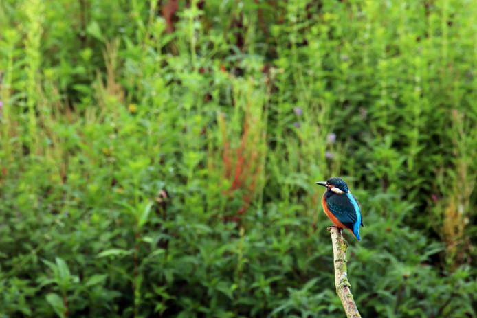 Ijsvogeltje in Luysen-Kempenbroek nabij Bree.
