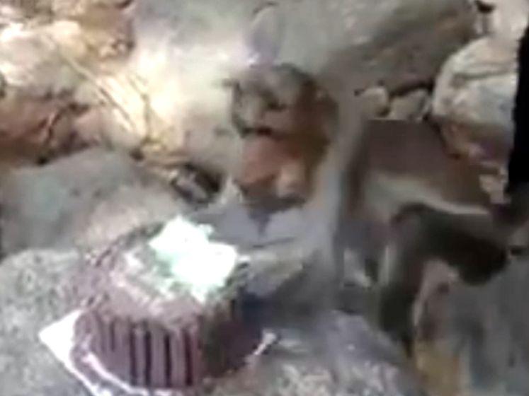 Hilarische beelden van aap die verjaardagsfeestje verpest