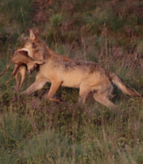 Drollen geven duidelijkheid: één van de eerste Nederlandse wolvenwelpen is een mannetje