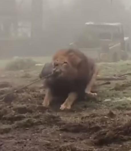 Kritiek op Britse dierentuin die bezoekers laat touwtrekken met leeuw