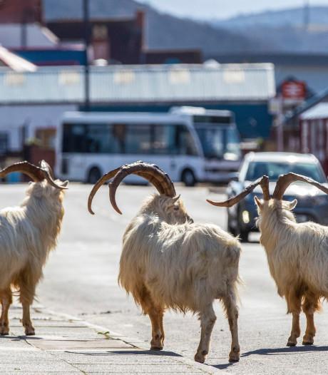 Un troupeau de chèvres sauvages envahit une ville désertée par le confinement