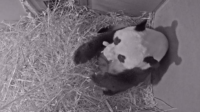 Webcambeelden van Wu Wen in het kraamhol met haar jong.