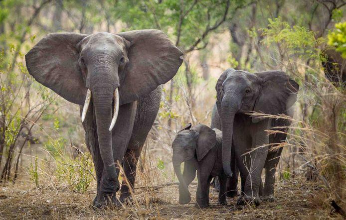 De regering wil het aantal olifanten terugdringen zonder ze af te maken.