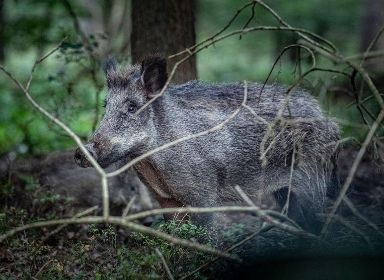 Wild zwijn op de Veluwe, dicht bij de weg.  Beeld Koen Verheijden