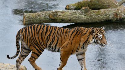 Zeldzame tijger door nieuwe liefde doodgebeten in Londense dierentuin