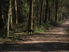 Weer wolven in het Montferlandse bos? Nee, zegt Wolvenmeldpunt