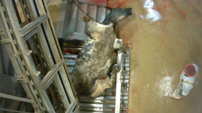Waarom geen haan meer kraait naar dierenleed: shockeffect undercovervideo's Animal Rights lijkt uitgewerkt