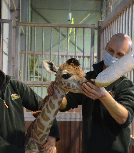 Pasgeboren giraffe vernoemd naar Kamala Harris: 'Zij heeft ook een vechtlust'