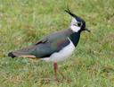 Weidevogels zoals de kievit hebben te lijden van landbouwmachines