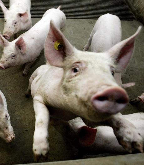 'Varkenssector moet krimpen voor gezonder Brabant'