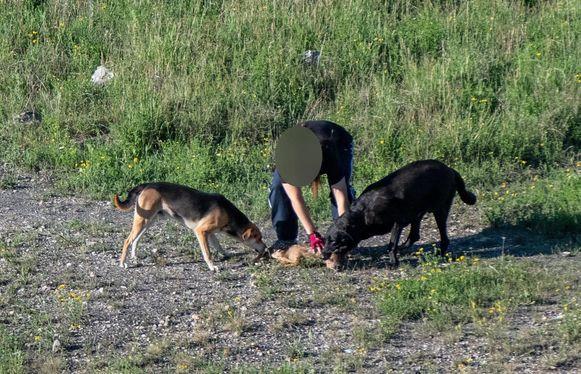 De honden bijten het reekalfje in enkele seconden dood.