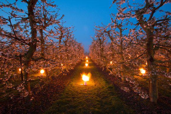 Vannacht hebben enkele Haspengouwse fruitboeren vuurpotten uitgezet om de bloesems te beschermen tegen de nachtvorst