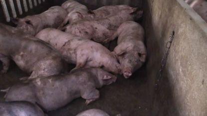 Hittestress bij varkens: Animal Rights maakt schokkende beelden in West-Vlaams varkensbedrijf