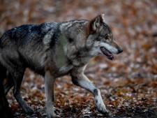 De aanwezigheid van de wolf heeft alleen maar voordelen