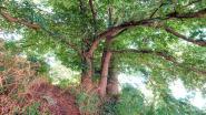 """Vierstammige kastanjeboom bij Menenpoort kandidaat voor Boom van het Jaar: """"De kastanje is een van de twee 'overlevers' van beide wereldoorlogen"""""""