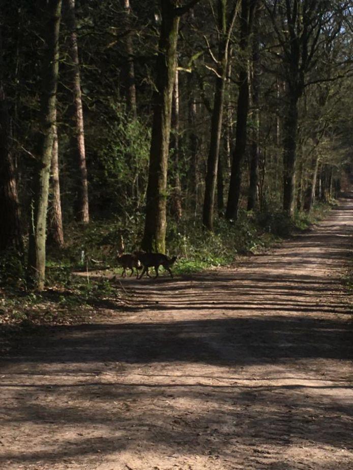 Wolven in het bos bij 's-Heerenberg? Sjoerd Hendriksen maakte deze foto tijdens een wandeling afgelopen donderdag.
