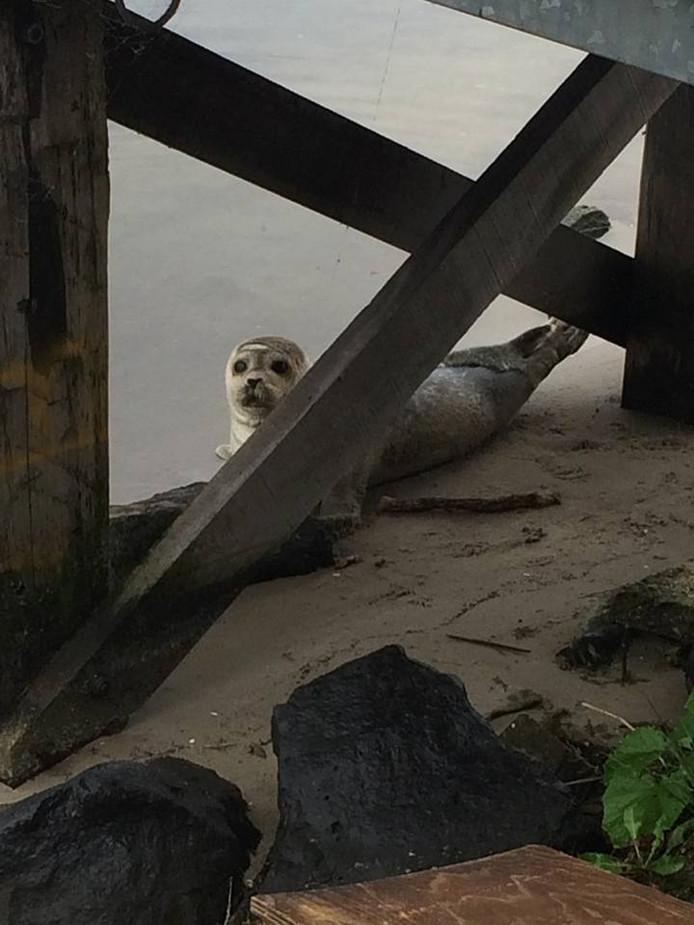 De zeehond die in Nijkerk gevonden is
