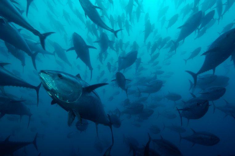De blauwvintonijn in de Spaanse Middellandse Zee. Beeld rv