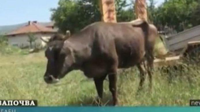 Penka, de Bulgaarse koe die uit de EU dwaalde