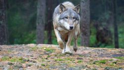 """Al meer dan tien wolven in ons land gespot: """"We worden het wolvenkruispunt van Europa"""""""