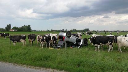 Auto belandt op dak in weiland, koeien tonen massaal interesse