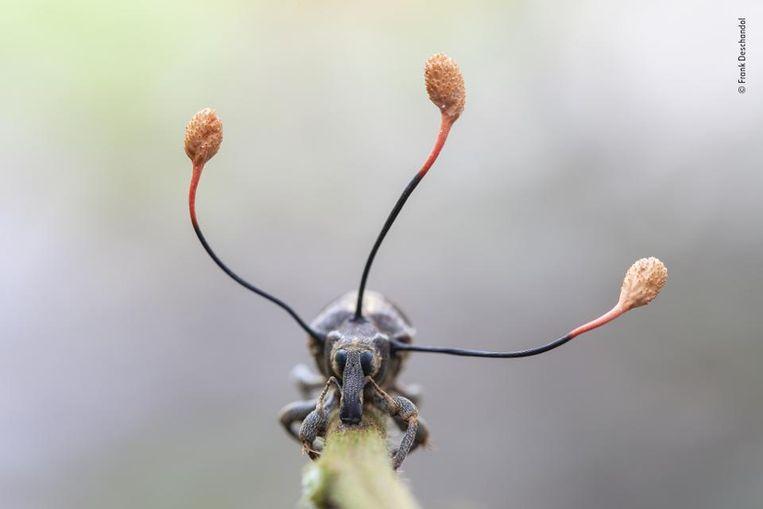 De coolste. Een snuitkever in het Amazonegebied. Wildlife Photographer Of The Year